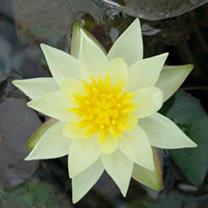 Nymphaea Plant - Pygmaea helvola