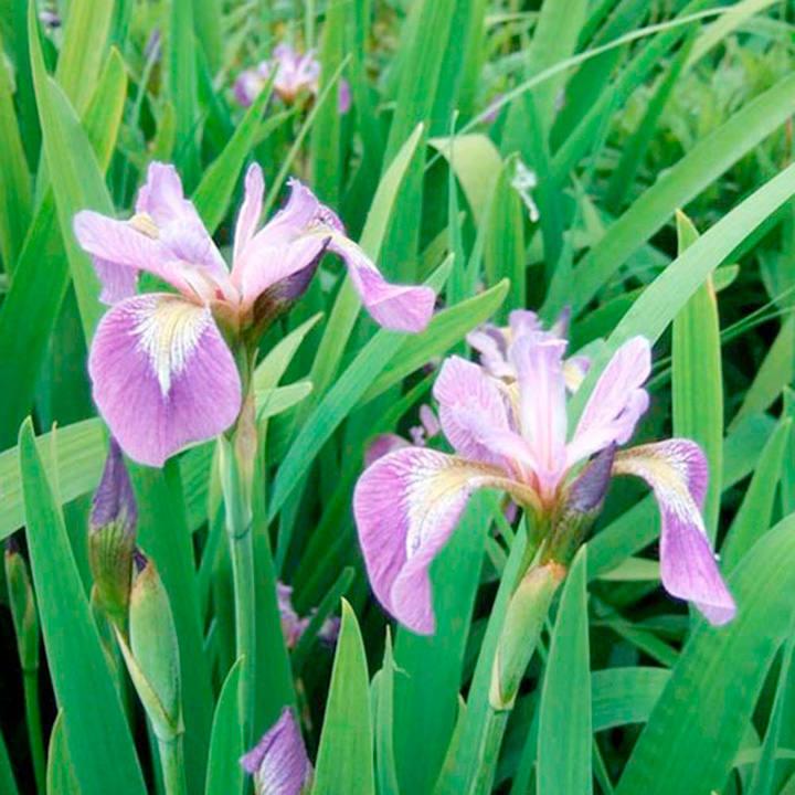 Iris Plant - Versicolour