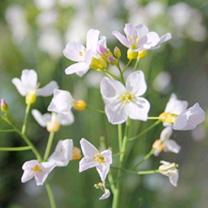 Cardamine pratensis Plant