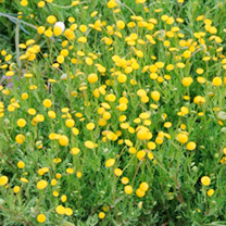 A pretty creeping plant, with numerous bright yellow flowers like buttons. The seeds can be collected and sown under glass in February/March or sown o