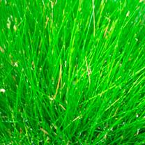 Eleocharis acicularis Plant