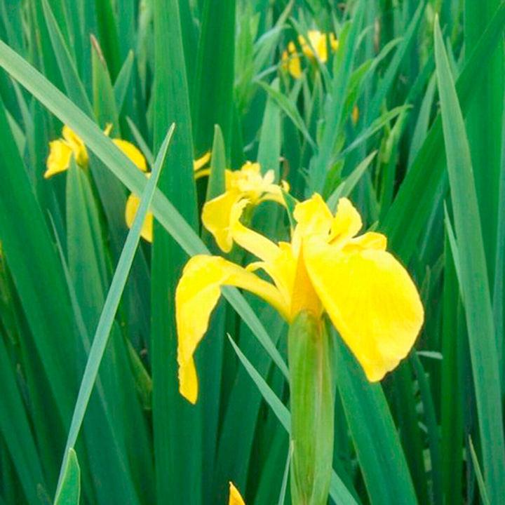 Iris pseudacorus Plant