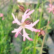 Lychnis flos-cuculi Plants