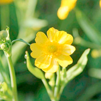 Lanceolate leaves with branching stems hold a large number of little yellow buttercup-type flowers. Flowers June-September. Height 25-30cm. Depth 5-10