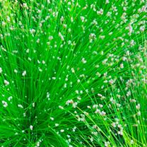 Scirpus cernuus Plant