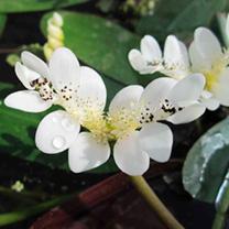 Aponogeton distachyos Plant