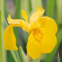 Iris pseudacorus variegata Plant