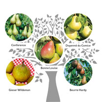 Gourmet Fruit Tree - Pear