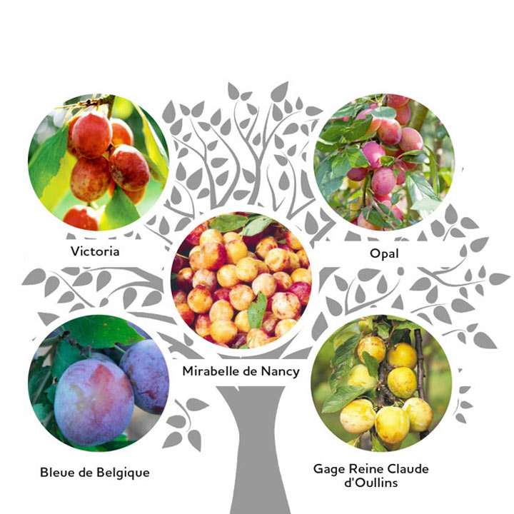 Family Fruit Tree - Plum & Gage