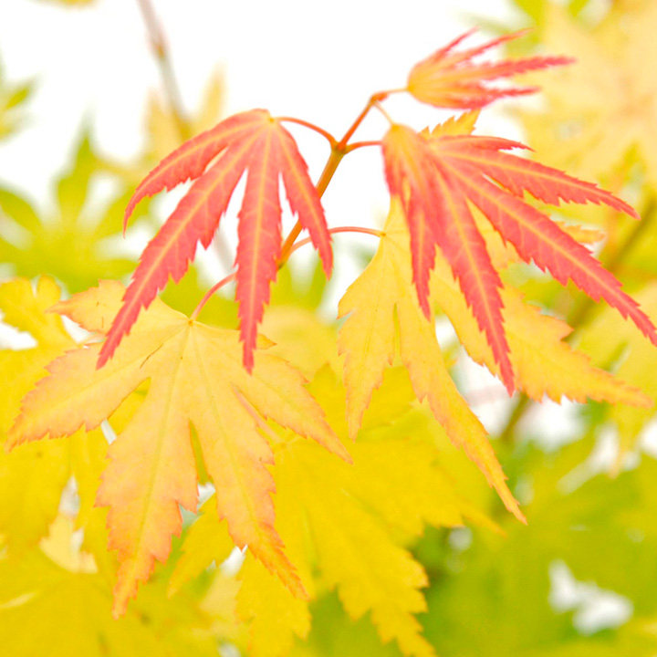 Acer Palmatum Plant Orange Dream Trees And Shrubs Flowers Garden Dobies