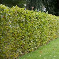 Fagus sylvatica Plants - 20 x 5 Litre Pots