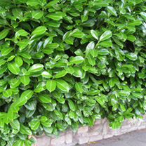 Prunus Laurocerasus Rotundifolia Plants - 10 x 10 Litre Pots