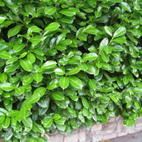 Prunus Laurocerasus Rotundifolia (Laurel) Plants - 20 x 5 Litre Pots