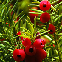 Taxus baccata Plants - 10 x 10 Litre Pots