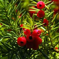 Taxus baccata Plants - 12 x 5 Litre Pots