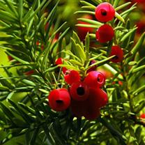 Taxus baccata Plants - 20 x 10 Litre Pots