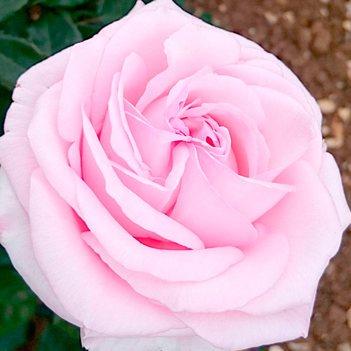 Rose Plant - Hamilton Princess