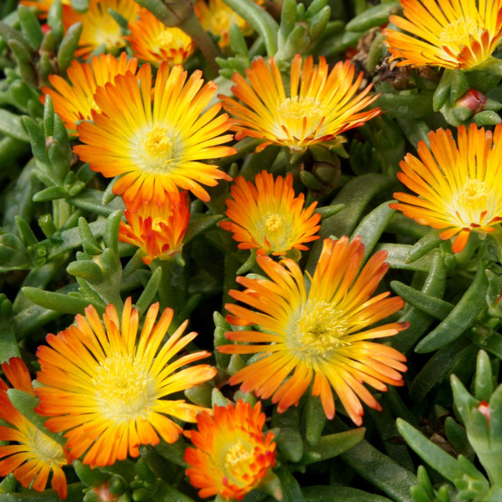 Delosperma Plant - Wheels of Wonder Orange Wonder