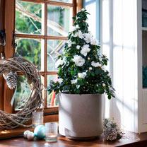 Azalea Tree - White