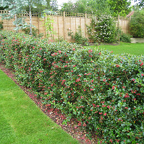 Escallonia Red (macrantha Rubra) Plants - 20/40cm