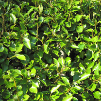 Griselinia Potted Plants