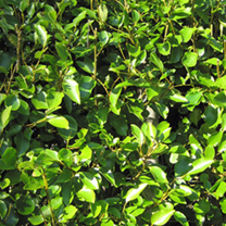 Griselinia Potted Plants - 20cm x 20