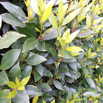 Laurus nobilis Potted Plants - 60cm+ x 10