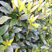 Laurus nobilis Potted Plants - 120cm+ x 10