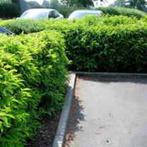Prunus lusitanica Potted Plants - 20cm+ x 20