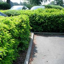 Prunus lusitanica Potted Plants - 60cm+ x 10