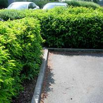 Prunus lusitanica Potted Plants - 60cm+ x 20