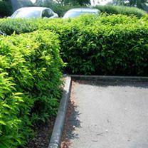 Prunus lusitanica Potted Plants - 100cm+ x 20