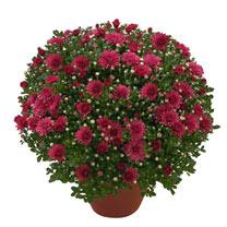 Chrysanthemum Plant - Dreamstar Pan Lilac