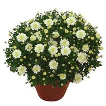 Chrysanthemum Plant - Dreamstar Ossa