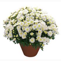 Chrysanthemum Plant - Kibul