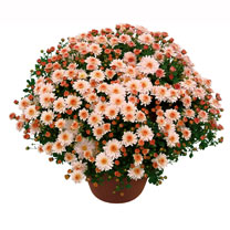 This new variety is from a great range of modern breeding having pink-peach flowers. Compact bushy plants with masses of flowers are produced. It has