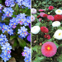 Image of Bellis & Myosotis Twin Pack (36)