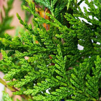 Thuja plicata Potted Plants