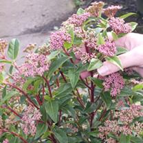 Viburnum tinus Potted Plants - 20cm+ x 10