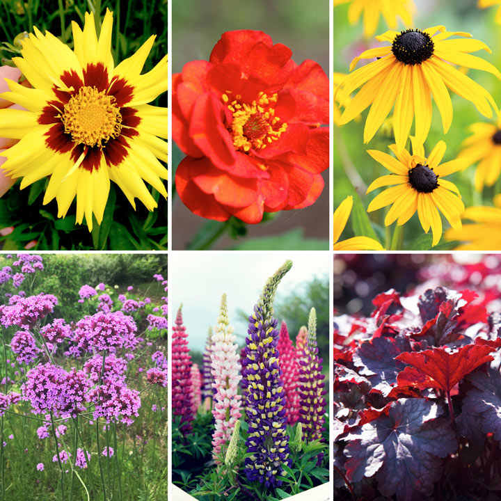 Chelsea Favourites Perennials (18 Plants)
