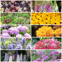 Image of Chelsea Favourite Perennials (50 Plants)
