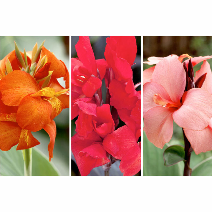 Canna Cannova Plants - Collection