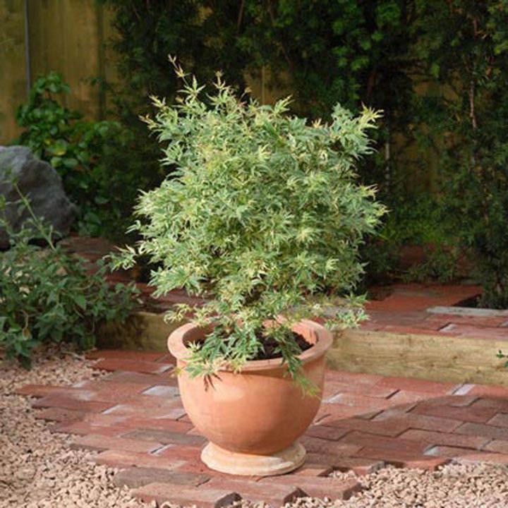 Acer palmatum Plant - Butterfly