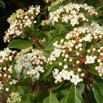 Viburnum Plants - Tinus