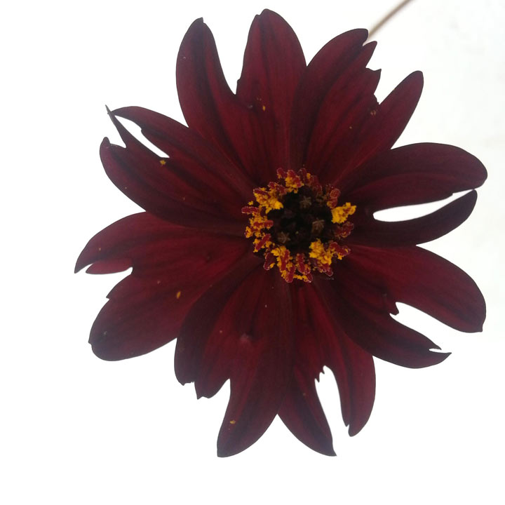 Cosmos Plant - Eclipse