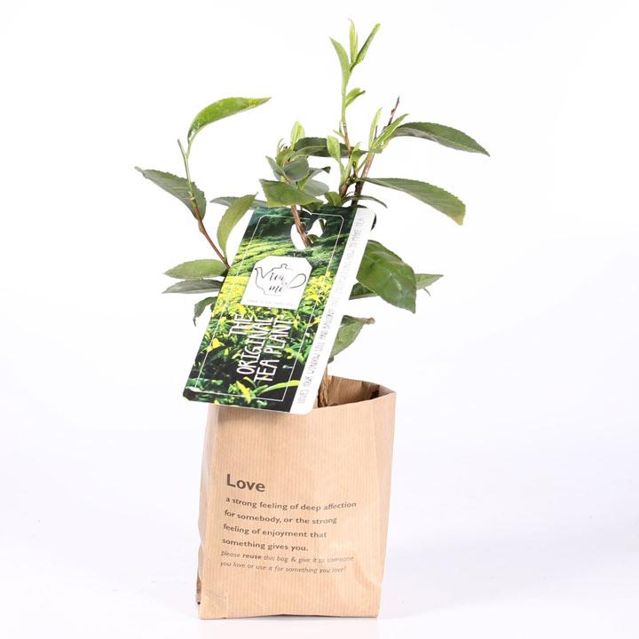 Tea Plant - Camellia sinensis