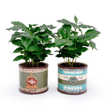 Coffee Plant in retro can