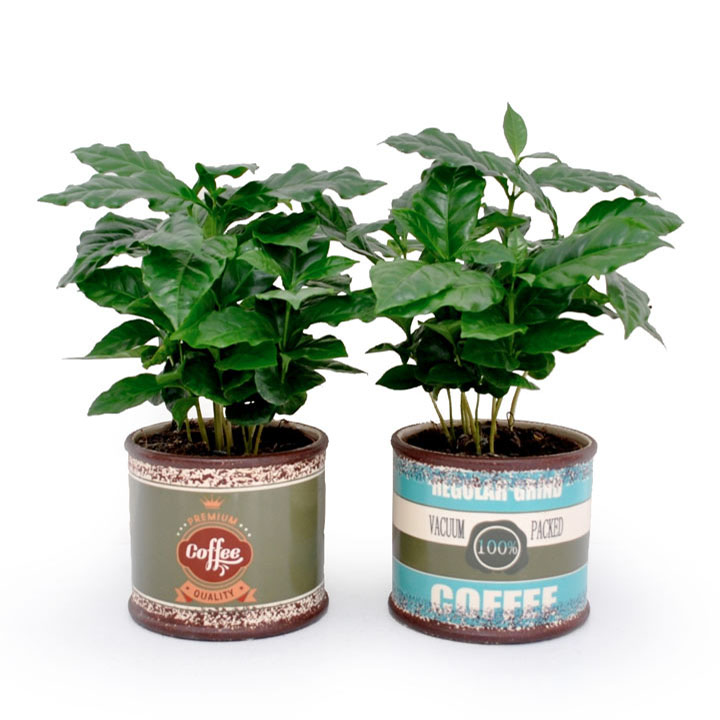 Coffee Plant in a wooden container