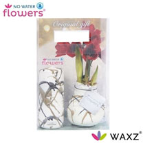 Wax-coated Amaryllis Bulb Rembrandt with Candle
