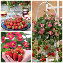 Strawberry Plants - Collection